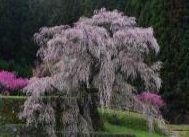"""2014年""""桜""""開花予想時期、花見の名所、場所、ランキングを公開します。梅の名所も同時に公開します。(関西、京都、大阪)"""