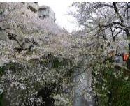 """2014年""""桜""""開花予想時期、花見の名所、場所、ランキングを公開します。梅の名所も同時に公開します。(関東地方、東京都、横浜)"""
