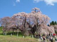 """2015年版""""桜""""開花予想時期、花見の名所、場所、アクセスを公開します。山、公園など。(北海道、東北地方)"""