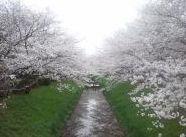 """2015年""""桜""""開花時期、花見の名所、場所、住所、アクセスを公開します。(東海、愛知、名古屋)"""