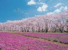 2015年花見の場所、名所、アクセス、スポット、桜の開花時期。関東、東京、横浜地区。都内以外は車が便利