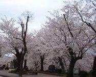 桜、花見の開花時期、スポット(山、公園など)、名所、住所、アクセス2015年版。九州、福岡、長崎、鹿児島